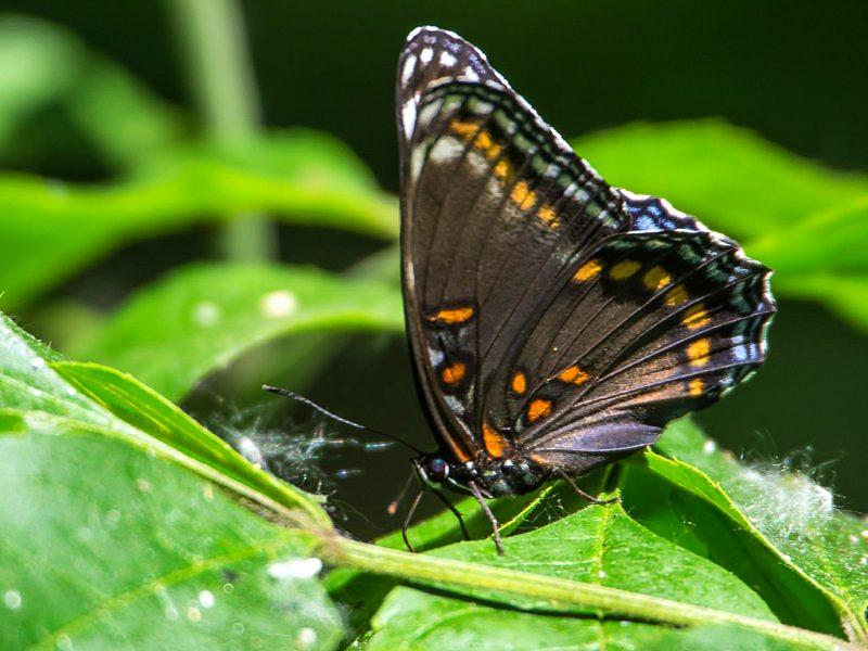 Red-Spotted Purple (2)