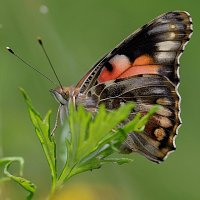 vanessa cardui another form