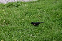 RED WINGED BLACKBIRD (2)