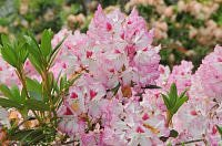 rododendron hachmann s charmant