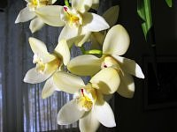 cymbidium cd