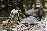Brown Pelicans -Pelikany brunatne.