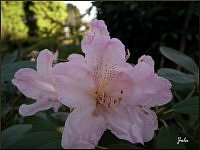 rododendron...