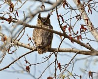 great horned owl puchacz