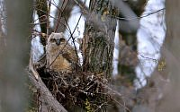 great horned owl babe