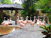 Chilean flamingo  - Flaming chilijski.
