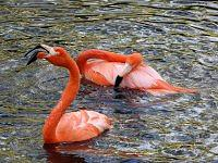 American flamingo  - Flaming karmazynowy.