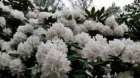 Rododendron.....