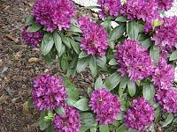 czas rododendronow