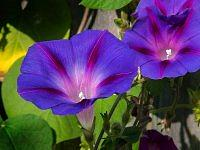 Morning Glory Vine.