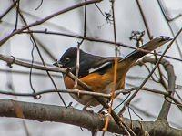 eastern towhee pipil rudoboczny