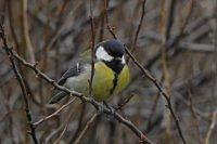 3. Sikorka Bogatka  (Parus major)