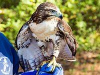 red tailed hawk myszolow