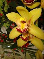 Kwiat cymbidium .  Makro .
