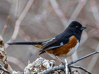 Eastern Towhee- Pipil rudoboczny.