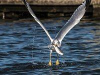 ring billed gull mewa delawarska