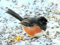 EASTERN TOWHEE - Pipil rudoboczny.