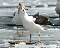 great black backed gull mewa