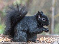 black squirrel wiewiorka czarna