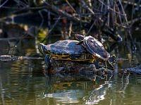 painted turtle zolw malowany
